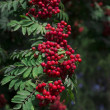 Rowan berries in natural setting — Stock Photo #30336193