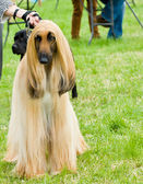 Afghan hound standing proud at dog show ground. — Stock Photo
