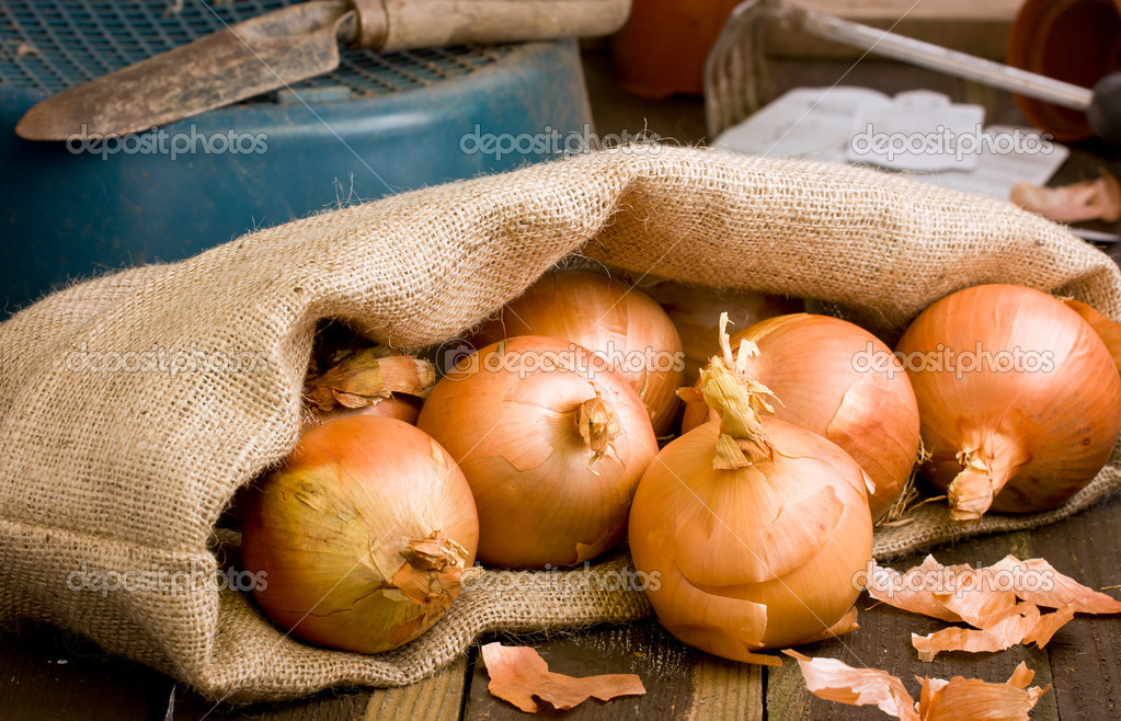 Spanish Onions in a hessian sack on rustic wooden bench with garden tools — Stock Photo #12756800