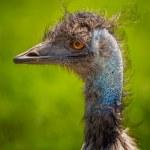 Emu Bird Portrait. — Stock Photo