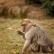 Macaque Inspecting a carrot at feeding time — Stock Photo