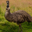 Foto de Stock  : Emu Bird Full Portrait.
