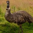 Emu Bird Full Portrait. — Stock Photo