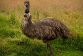 Plné portrét ptáka emu. — Stock fotografie