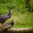 Stock Photo: Northern Bald Ibis (Geronticus eremita)