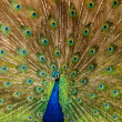 Portrait of Peacock with Feathers Out — Stock Photo