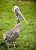 Young Pelican — Stock Photo