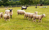 Sheep with lambs on farm in England. — Stock Photo