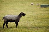 Black faced Sheep on farm — Stock Photo