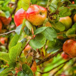 Apple Tree In An Orchard — Stock Photo