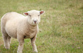 Spring Lamb — Stock Photo