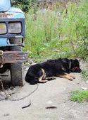 Tibetan mastiff and truck — Stock Photo