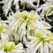 White Chrysanthemum stamen — Stock Photo