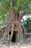 Angkor tree — Stock Photo