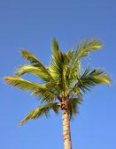 Kokosnöt träd — Stockfoto