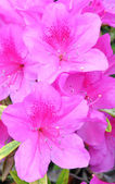 Azaleas — Stock Photo