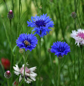 Blue flowers and bees — Stock Photo