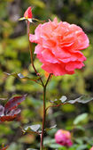 China rose — Stockfoto