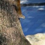 Squirrels and tree trunks — Fotografia Stock  #21091363