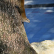 Squirrels and tree trunks — 图库照片