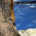 veverky a kmeny stromů — Stock fotografie