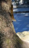 Squirrels and tree trunks — Stock Photo