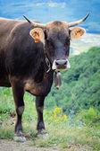 Dark cow — Stock Photo