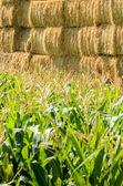 Green corn and bale — Stock Photo