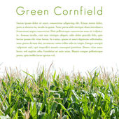Green cornfield isolated — Stock Photo