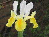 ирис,iris — Foto de Stock