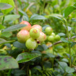 Unripe cranberries — Stock Photo #12685350