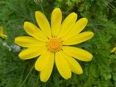 黄春黄菊-euriops — 图库照片