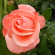 Rose very pretty coral color with drops of dew - Stock Photo