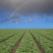 Strawberry field with rainbow - Stock Photo