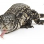 Black and White Tegu Lizard — Stock Photo