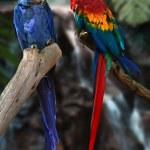 Постер, плакат: Macaw parrots