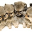 Group of puppies on a white background — Stock Photo