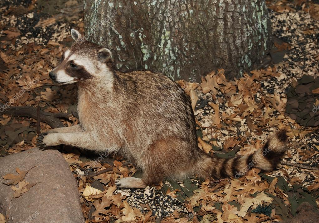 Racoon in setting with tree trunk and dried leaves  Stock Photo #13472235