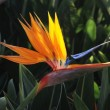 Bird of paradise - Stock Photo