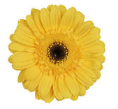 Yellow gerber daisy — Stock Photo