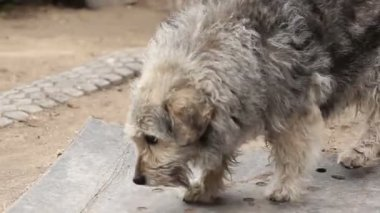 Shaggy dog walking on the ground, wagging its tail — Stock Video