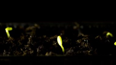 Water Melons sprouting, Time-lapse — Stock Video