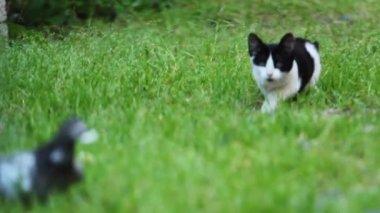 640х360) Kitten hunting a pigeon — Stock Video