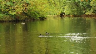 Ducks swimming on a small forest lake — Stockvideo