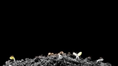 Grows sprouting out of barren ground — Stock Video
