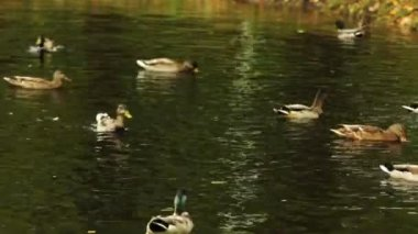 Flock of ducks swimming on the forest lake — Stockvideo