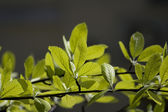 Fresh leaves — Stok fotoğraf