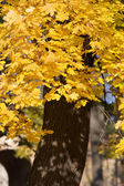Yellow maple tree — Stock Photo