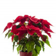 Christmas flower Poinsettia - Stock Photo