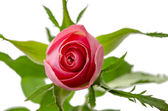 Pink rose top view — Stock Photo